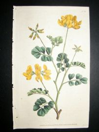 Curtis 1787 Hand Col Botanical Print. Day-Smelling Coronilla #13,